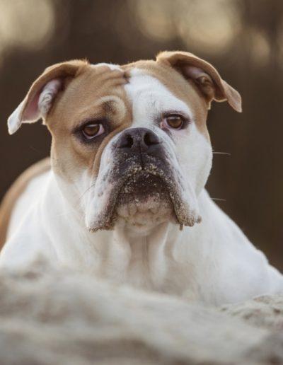 Continental Bulldog - ACBC e.V.